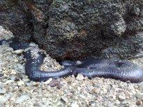 Animal Gamat di Pulau Tukun Perak.