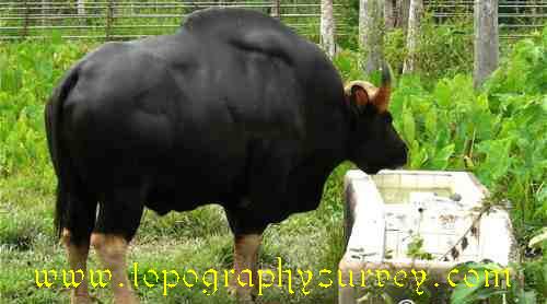 jenderak-bull _ Seladang Kuala Kerau_topography explorer
