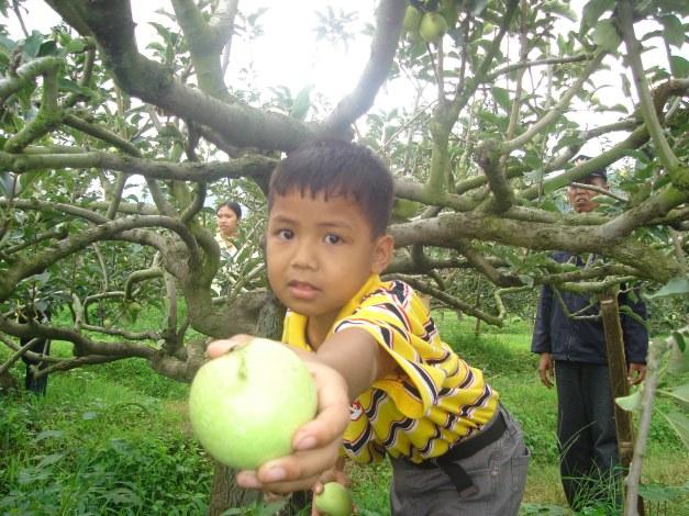 peristewa di ladang apel