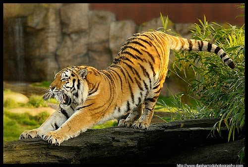 cat tiger stretch
