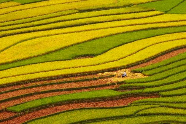mung cang cai _MUA VANG- image